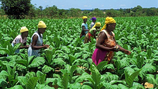 Tobacco-farmers-KURIA